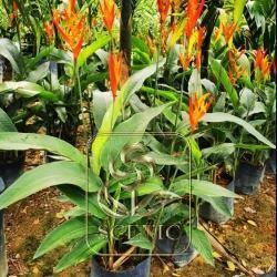 Heliconia densiflora 'Fire Flash'