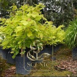Big Leaf Ficus