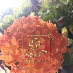 Ixora coccinea orange