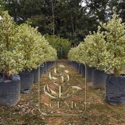 Ficus deltoidea var