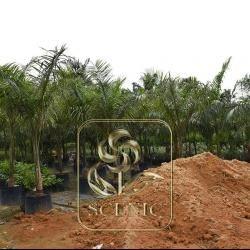 Roystonea regia(Royal palm)