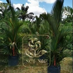 Cyrtostachys renda(Red palm)