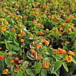 Lantana camara Orange red