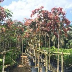 Red Schefflera actinophylla