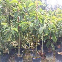 Dipterocarpus baudii