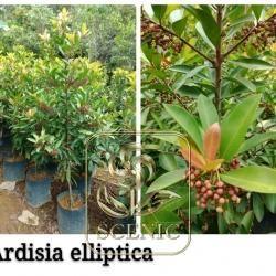 Ardisia elliptica