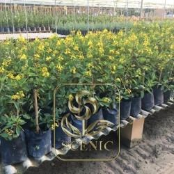 Ardisia Yellow Flower