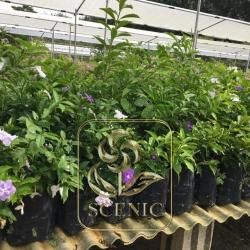 Ardisia Purple Flower