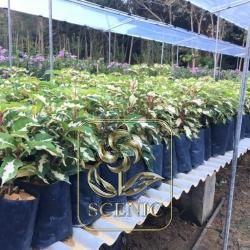 Graptophyllum pictum 'Roseum Variegatum'