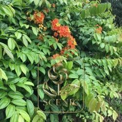Big Leaf Rhapis Flower