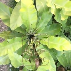Big Leaf Arenga