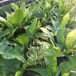 Dark Big Leaf Arenga
