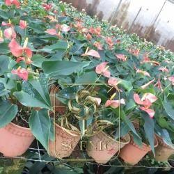 Anthurium andraeanum cultivars