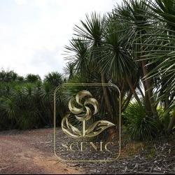 Phoenix roebelenii tree