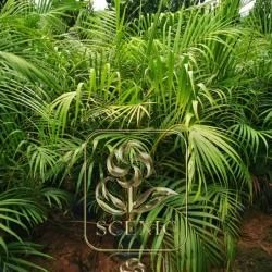 Dypsis Lutescens(Yellow Cane Palm)