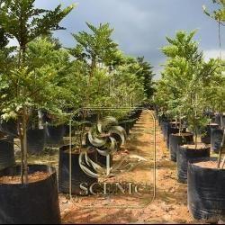 Diospyrus Buxifolia 2M