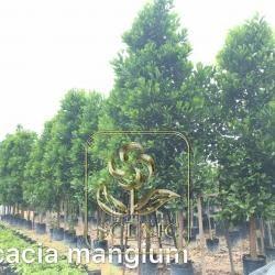 Acacia mangium Q100mm