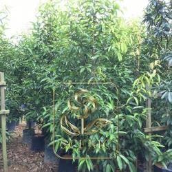 Calophyllum soulattri 3M